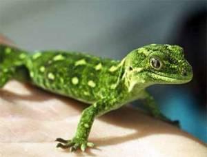 wstlnd-green-gecko-351