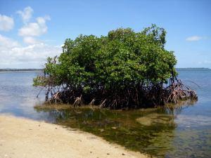nice-mangrove-tree